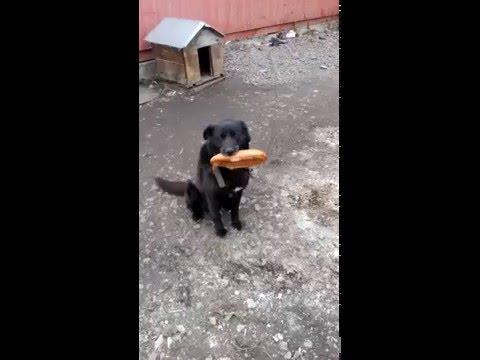 Пес охраник