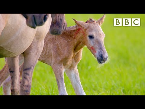 Adorable newborn foal takes first steps 🐎 - BBC