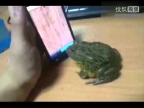 Chú ếch xanh nổi đóa vì bị lừa.flv