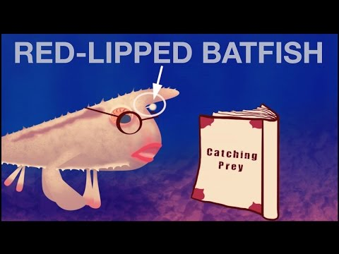 The Red-lipped Batfish And It's Evolution