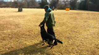 Schutzhund Ipo Obedience Training  German Shepherd
