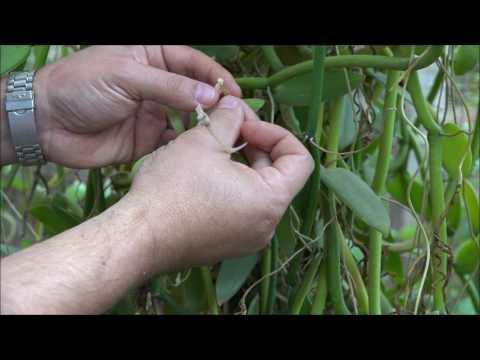Self-pollination in a flower of Vanilla (Autopolinização em Vanilla)