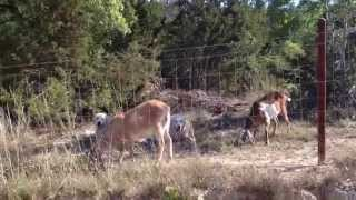 Goat herd and livestock guardian dogs