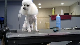 ROSEY - TOY POODLE - STRIP/SHAVE, CLEAN FACE, FULL EARS, FULL TOP K...