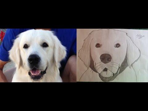 Apprendre dessiner son chien crayon a papier youtube - Dessin golden retriever ...