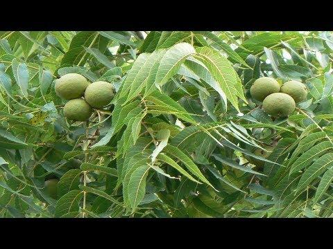 Eastern black walnut   Juglans nigra   Trees of north America