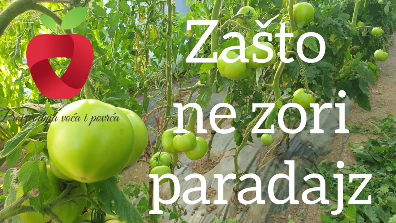 Download Zašto paradajz ne zori? (ili što se kaže ne zri) :)
