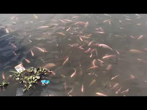 Budi daya Ikan Nila di depan rumah