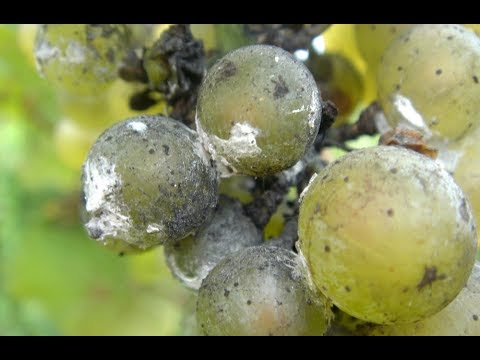 Wiped out Vineyards in Europe with Moldy Seeds and Moldy Crops (475)