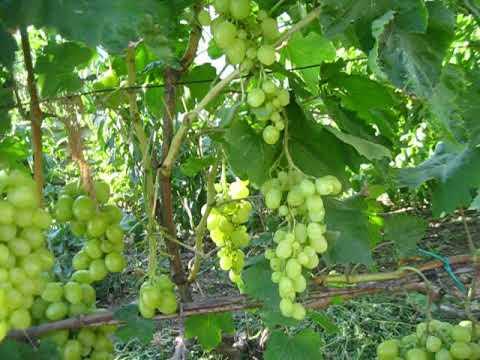 виноград г.ф. Дарья 2020р