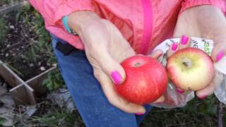 Early AppleTree variety Discovery- Stephen Hayes