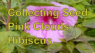 Collecting Seed from  Hardy Hibiscus Plants