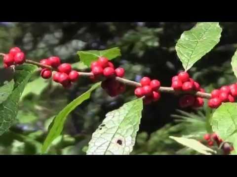 EcoBeneficial Tips: Spotlight on Winterberry