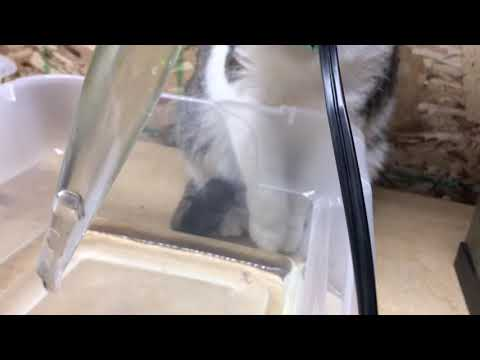 How to get baby axolotl out of tank and hand hatching