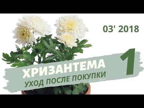 Как ухаживать за хризантемой в горшке. Часть 1