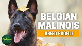 Belgian Malinois Dog Breed Profile | Dogs 101   Belgian Malinois