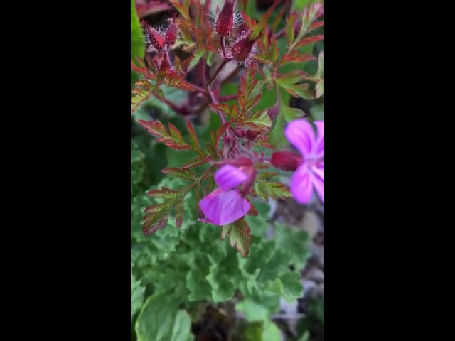Herb Robert explained by Dr Clare GP & Medical Herbalist