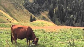 Grande Chartreuse : troupeau de vaches tarines .MOD