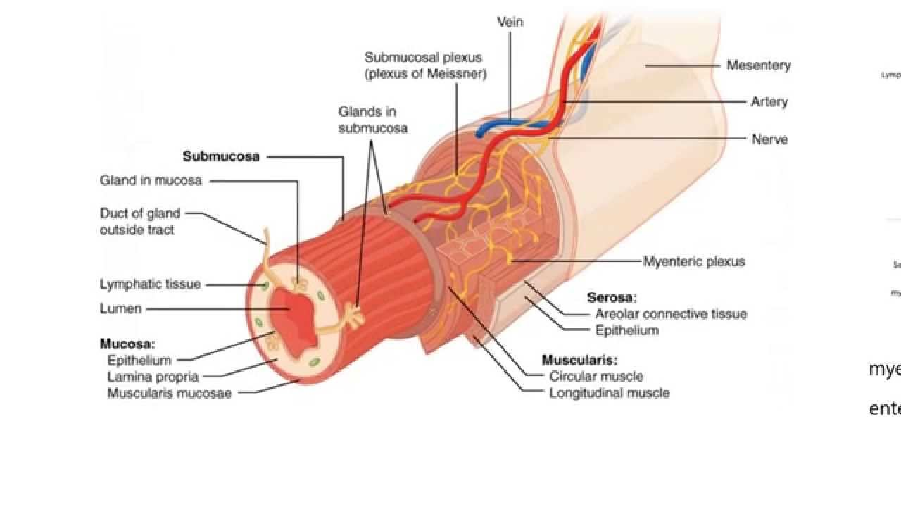 dog digestive system diagram [ 1280 x 720 Pixel ]