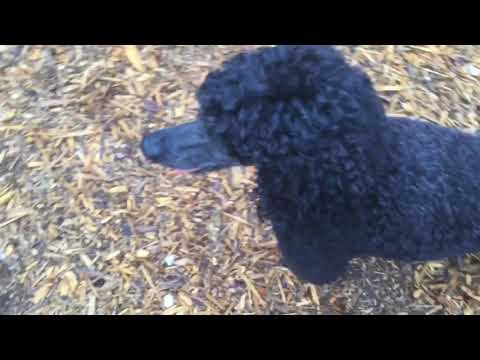 Rocky | Miniature Poodle | Obedience At Kennel