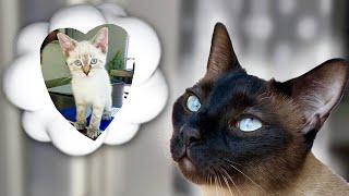 Siamese Cat Finds Soulmate #shorts