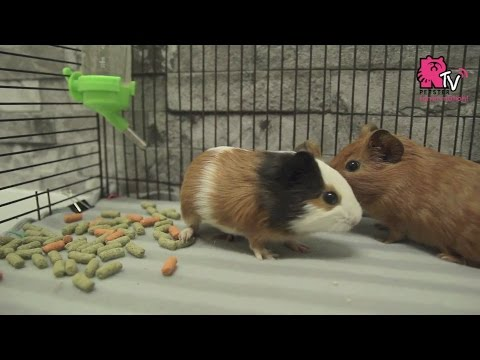 Diy Fleece Bedding For Guinea Pigs
