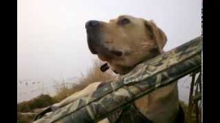 Duck Hunting Dog On The Clock.