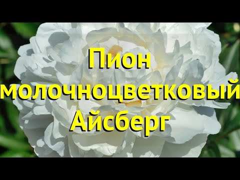 Пион многоцветковый. Краткий обзор, описание характеристик paeonia lactiflora Айсберг