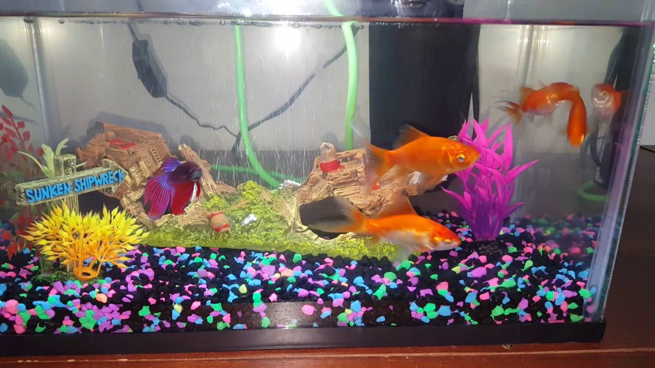 Betta fish and goldfish together youtube for Betta fish together
