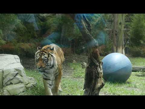TIGER WALK | MEXICO CITY, Chapultepec Zoo