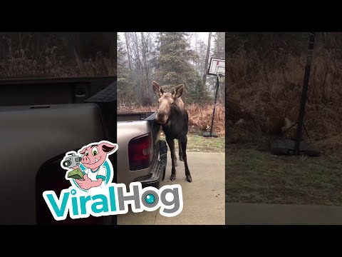 Moose Gives Complimentary Car Wash || ViralHog