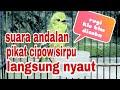 Suara Pikat Burung Cipow Sirtu Jamin Dapet Banyak  Mp3 - Mp4 Download