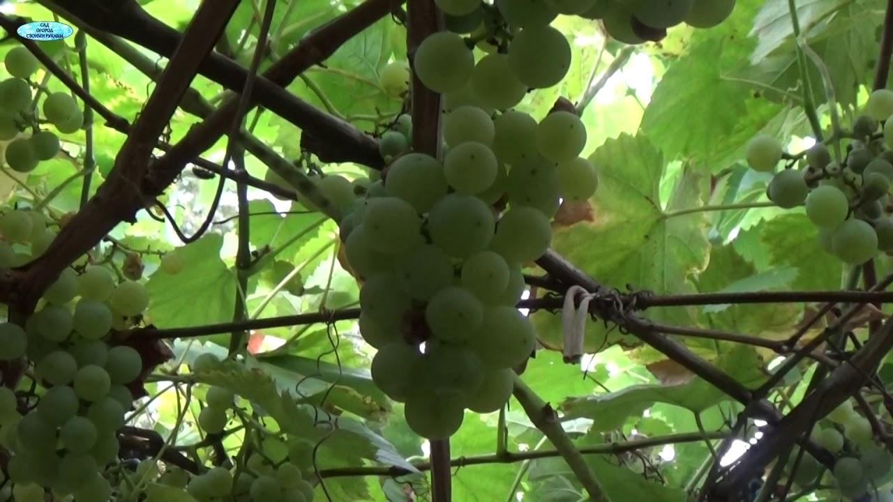 фото кисть винограда