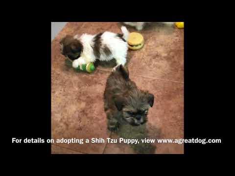 Shih Tzu Male Puppies