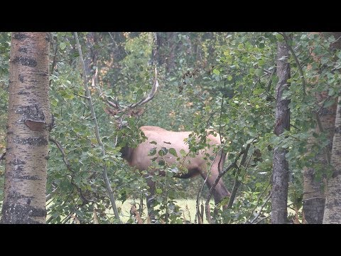 Alberta Elk Hunting.