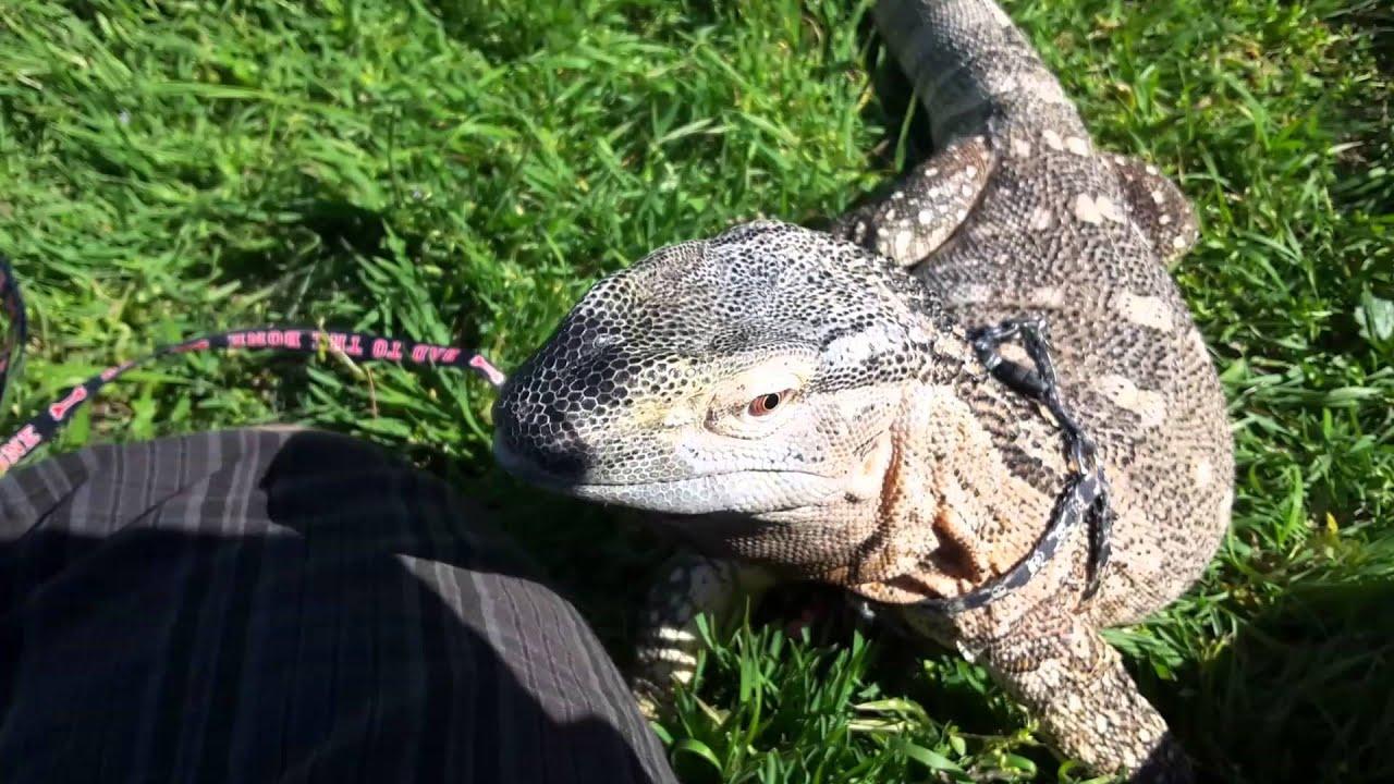 Big Lizard In My Back Yard Live Video - YouTube
