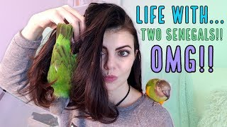 How to Train Your Parrot To Step Up   Parrot Talk & Training with Two Senegal Parrots