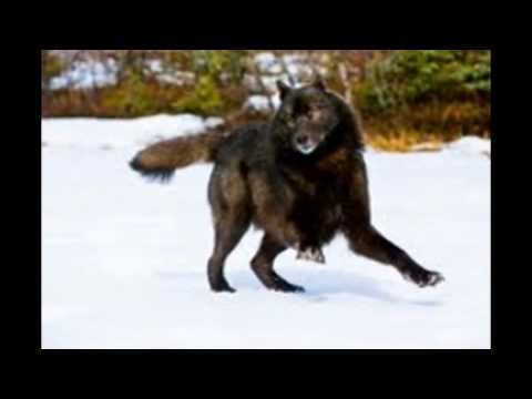 gracie my chow wolf mix d youtube