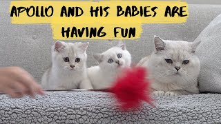 British shorthair cat Apollo and his kittens are playing and having fun
