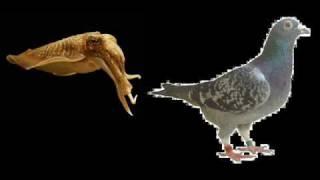 Calamar o paloma