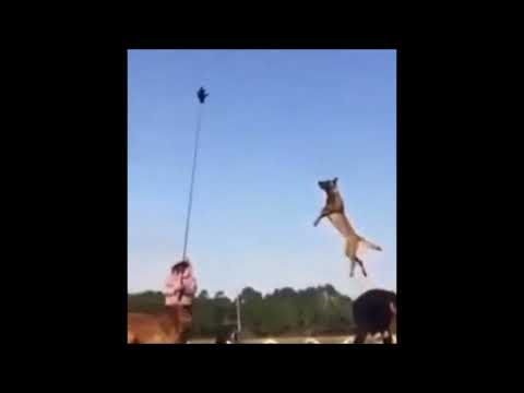 DOG JUMPS 25 FEET IN THE AIR!!!