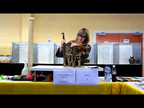 Katherina Krenn Judging at TICA cat show