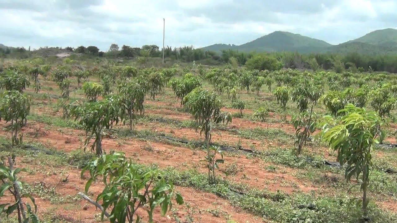 Mango Plantation Pictures