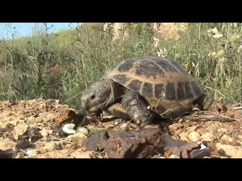 Сухопутная черепаха в домашних условиях более 20 лет - содержание и уход