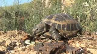 Сухопутная черепаха в домашних условиях более 20 лет - содержание и уход(Подробнее на моем блоге - http://dadanov.ru/tortoise-turtle/ Сухопутная черепаха в домашних условиях более 20 лет - подробнее..., 2011-10-04T11:19:18.000Z)
