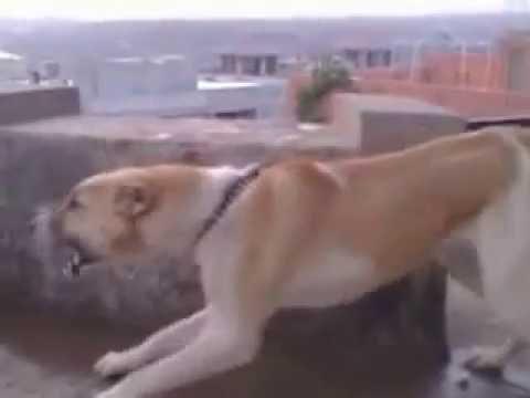 Afghan koochee Dog in Islamabad Pakistan