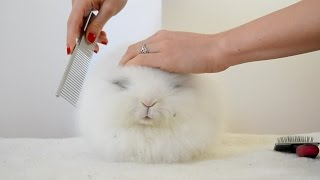 Brushing Long Haired Rabbit