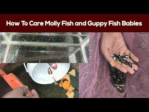 How To Breed Molly Fish Baby. How To Breed Panda Molly