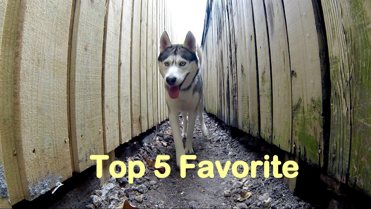My Husky's Favorite Things! (Top 5)