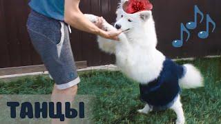СМЕШНЫЕ ЖИВОТНЫЕ, СОБАКА САМОЕД ТАНЦУЕТ В ЮБКЕ | FUNNY ANIMALS, DOG SAMOYED DANCING IN SKIRT